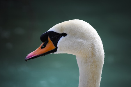 cygnet: A first plane of a swan in a park