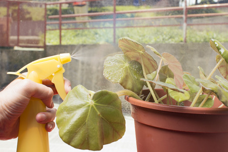 caring for: Caring for house plant begonia manicata, spraying it. Fresh air in the house, air enrichment plants.