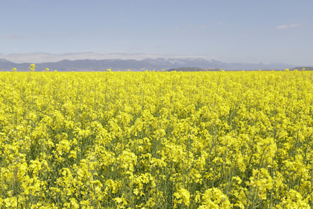 Flowering field of rapeseed canola or colza, plant for green energy and oil industry. Spring time on Spain.