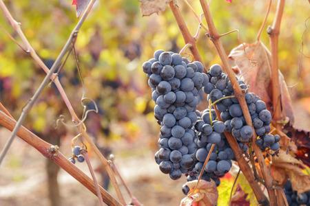 Autumn vineyard in La Rioja, Spain. Shot in November. 版權商用圖片