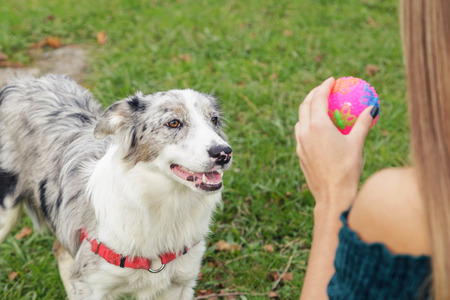 Six month old border collie she dog, playing with her human friend. 版權商用圖片