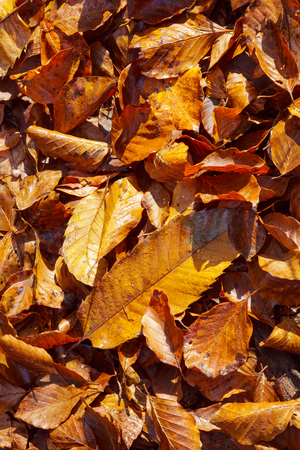 Actual autumn leaves on the ground. Golden autumn colours.