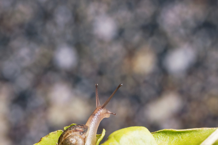 Garden snail in shell crawling on a green leaf, looking up! 版權商用圖片