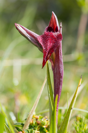Heart flowered orchid Serapias Cordigera, close up in a green park.