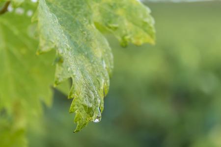 dewdrop: dewdrop on a vine leaf