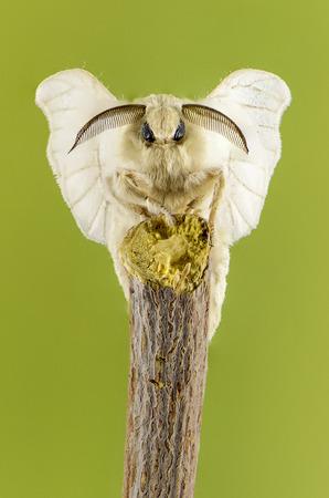 mori: Macro bombyx mori. Apilado de 56 fotos