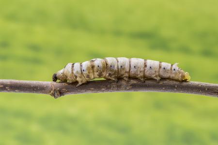sericulture: silkworm on a stick