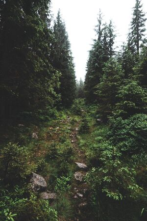 Mysterious path in the middle of wooden coniferous forrest, surrounded by green bushes and leaves and ferns found on Sumava Stok Fotoğraf
