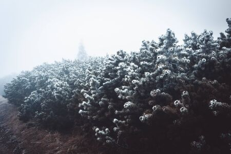 Frozen bushes in winter, covered with the hoar-frost. Winter background. Frozen bushes in early morning close up. Nature in Krkonoše National park, Czech republic