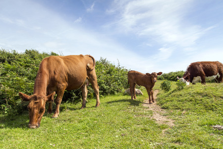 Family of Cows - Calf Grazing with Cow Stock Photo