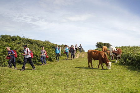 Gower, UK: July 14, 2016: School children on a field trip walk towards the camera past a small herd of cows on a country path. Some of the children look nervous Editorial