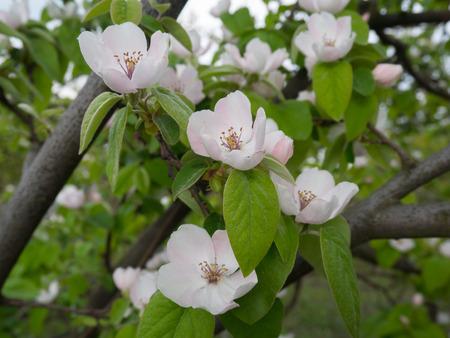 membrillo: membrillo estallaron en la floración