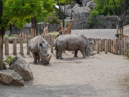 zoogdier: neushoorn, de grote zoogdier Stockfoto