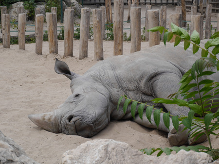 power nap: rhino sleeping in the park