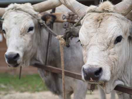 tame: tame gray cattles waiting