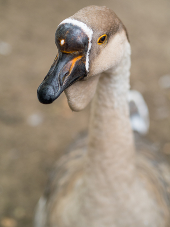 tame: homemade sweet tame ducks in the yard