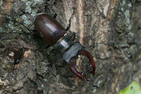 stag-beetle in the tree