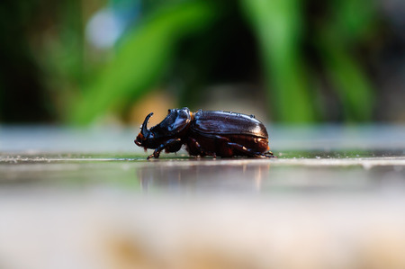 horn beetle: horn beetle side view walk on the rock Stock Photo