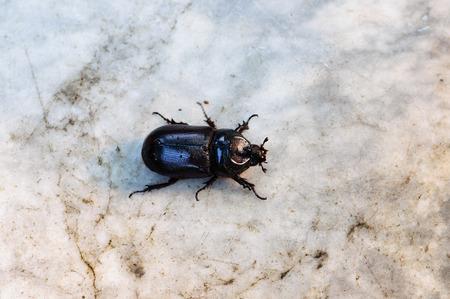 horn beetle: horn beetle top view walk on marble