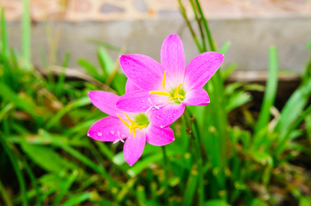 Pink zephyranthes lily flower rain lily flower Stock Photo