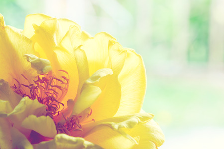 cotton flower: Yellow silk cotton flower on wood look for a retro vintage Stock Photo