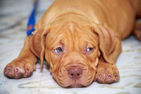 nariz roja: nariz de perro cachorro de pitbull rojo que mira en el piso Foto de archivo