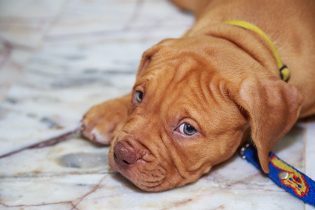 red nose: puppy dog pit bull red nose looking on floor Stock Photo