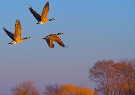 avian: geese in flight