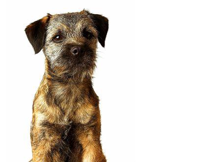 familiaris: border terrier puppy posing