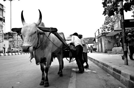 A Man with his bullock cart on street of mumbai