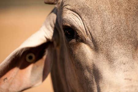 bull s eye: Brahman Bull