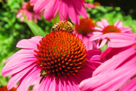 large bee on a coneflower Stock Photo