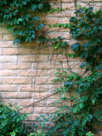 garden wall with ivy
