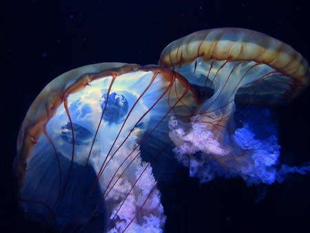 a pair of jellyfish