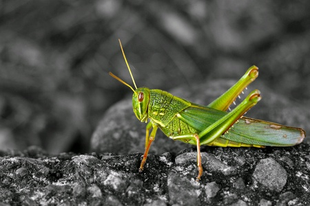 The colorful grasshopper with black and white background