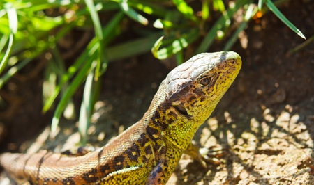viviparous lizard: European green lizard in green grass.Lacerta Viridis.