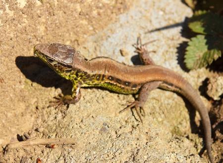 European green lizard in green grass.Lacerta Viridis. photo