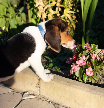 Side view of cute Beagle puppy smelling some pink flowers in the yard