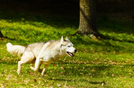 Adult Syberian Husky running on grass in spring season photo