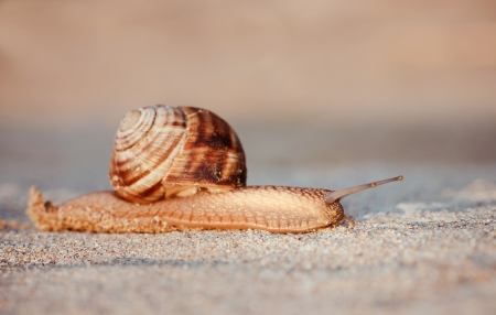 Brown snail crawling in the sand at sunrise. Small depth of field. Stock Photo