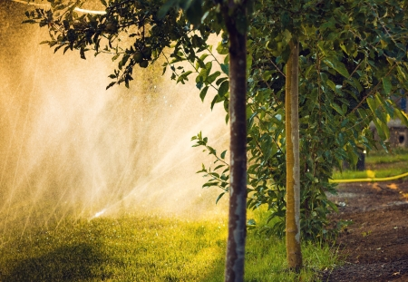 sprayed: Water sprayed apple trees and natural back lighting in summer afternoon