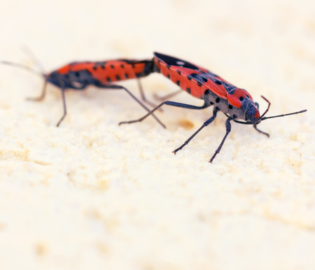 Macro photo of two fire bugs while mating. The original name is Pyrrhocoris Apterus and its a common insect. photo