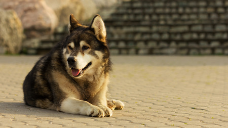 Old malamute dog laying on concrete photo