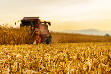 agriculture landscape: Harvester working in background on corn field in autumn season