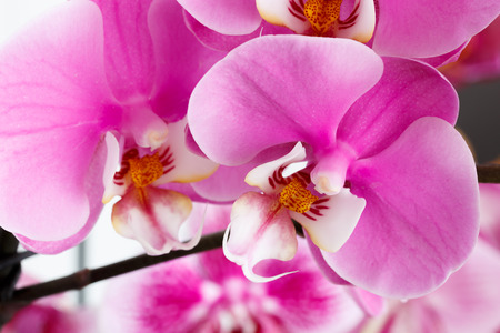 vibrant colours: Close-up of beautiful vibrant pink orchid