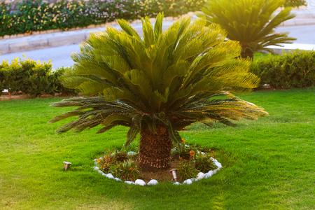 良いサゴヤシ木を裏庭の成長を探しています。