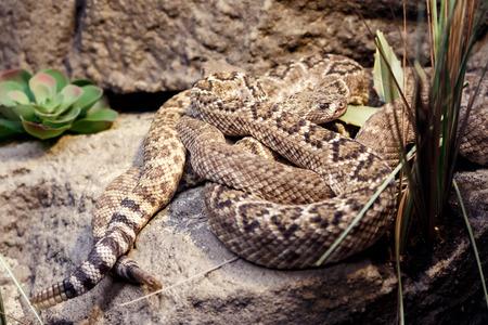 serpiente de cascabel: serpiente de cascabel peligrosa en una piedra en el zoológico Foto de archivo