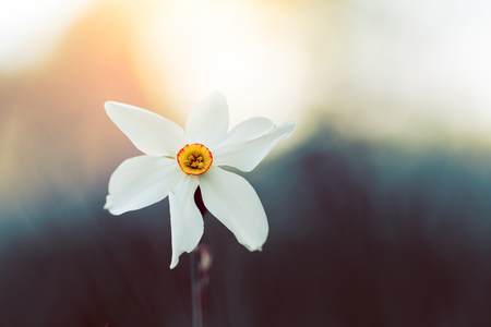 背景をぼかした写真に対して白い水仙花のマクロ撮影