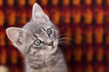 右側を見る好奇心の小さなかわいい猫。領域をコピーします。