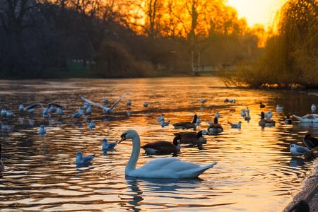 夕暮れ時の湖で白鳥スイミングを落ち着かせます。ヴィンテージの効果。